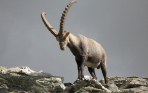 Alpine Ibex Full HD