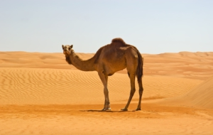 Best Images Of Camel