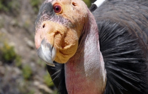 California Condor Computer Backgrounds