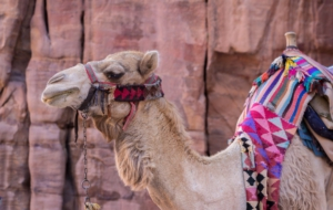 Camel Download Free Backgrounds HD