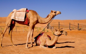 Camel Free Images