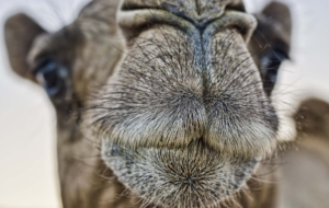 Camel Full HD