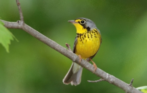 Canada Warbler Background