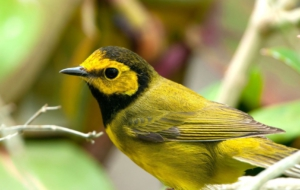 Canada Warbler Computer Backgrounds