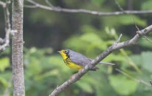 Canada Warbler HD Wallpaper
