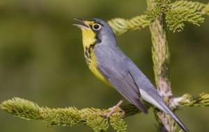 Canada Warbler High Definition Wallpapers