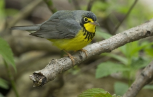 Canada Warbler For Desktop