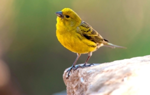 Canary Download