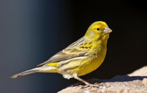Canary Download Free Backgrounds HD