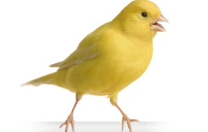 Canary Full HD