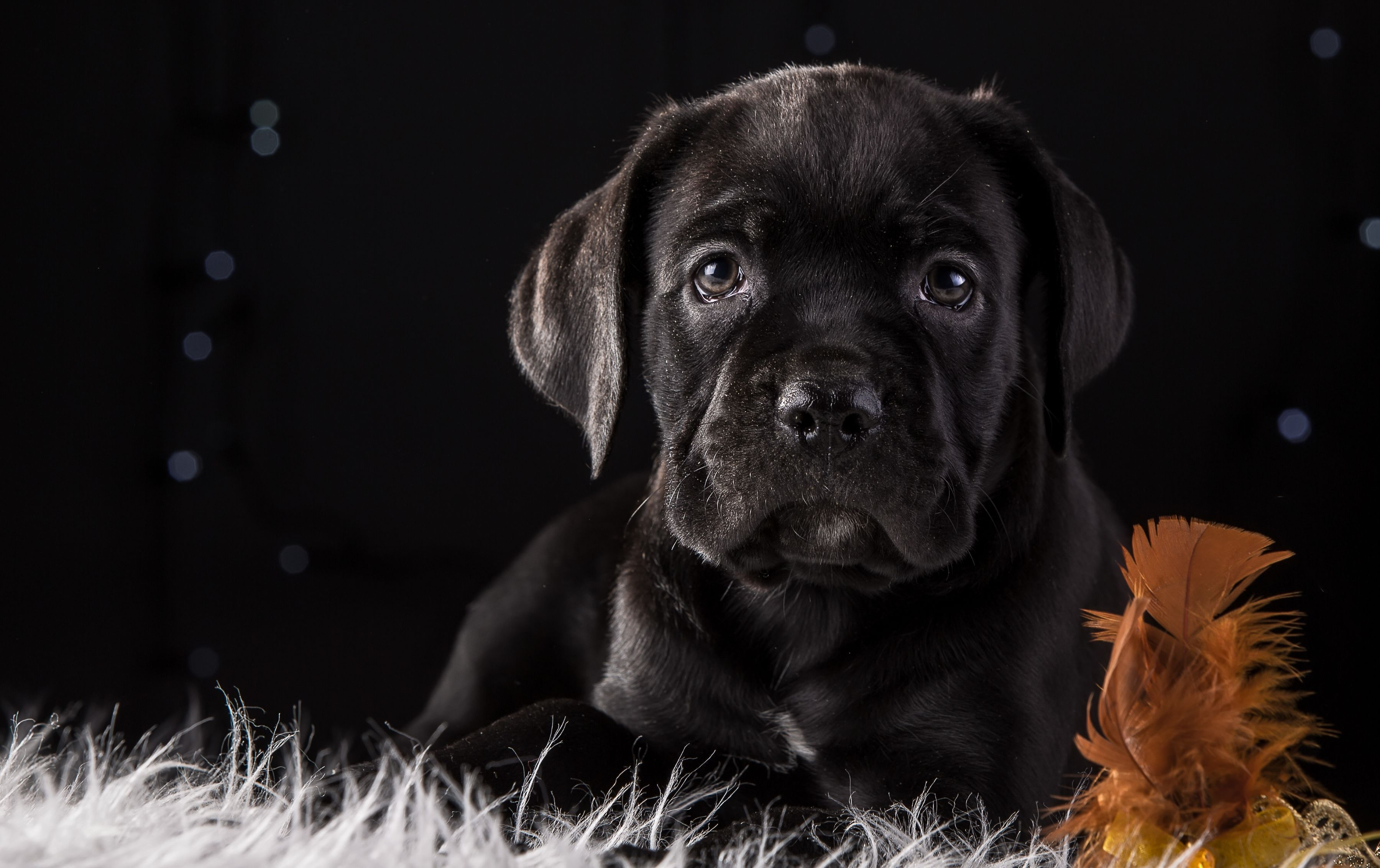 Cane Corso Wallpapers Backgrounds