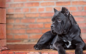 Cane Corso For Desktop