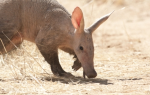 Pictures Of Aardvark