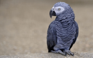 Pictures Of African Grey Parrot