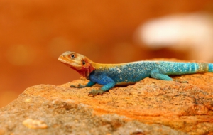 Pictures Of Agama