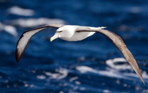 Pictures Of Albatross