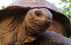 Pictures Of Aldabra Giant Tortoise