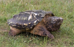 Pictures Of Alligator Snapping Turtle