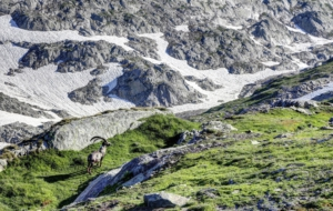 Pictures Of Alpine Ibex