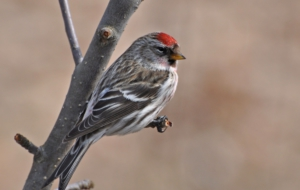 Сommon Redpoll Desktop Wallpaper
