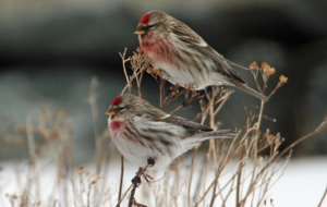 Сommon Redpoll Download Free Backgrounds HD