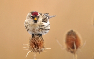 Сommon Redpoll HD Desktop