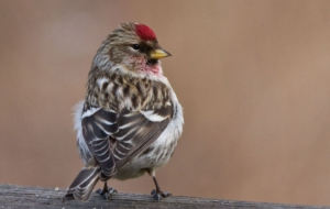Сommon Redpoll HD Wallpaper