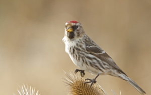 Сommon Redpoll For Desktop