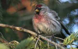 Сommon Redpoll Computer Backgrounds