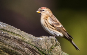 Сommon Redpoll Download