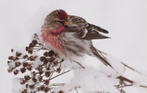 Сommon Redpoll Free Download