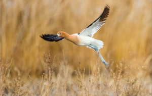 American Avocet Background