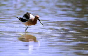 American Avocet Computer Wallpaper