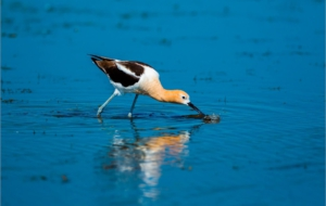 American Avocet HD Background