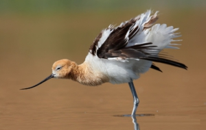 American Avocet HD Wallpaper
