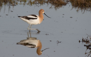 American Avocet High Definition Wallpapers