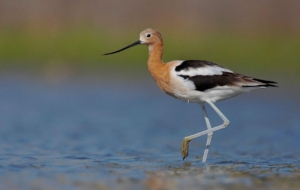 American Avocet Wallpapers