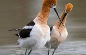 American Avocet Wallpapers HD