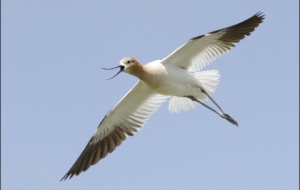 American Avocet Widescreen