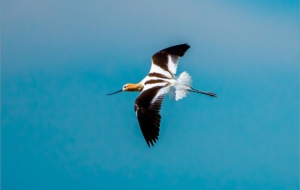 American Avocet For Desktop