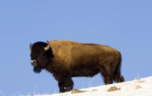 American Bison Background