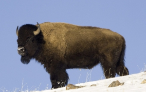 American Bison Computer Wallpaper