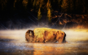 American Bison Desktop Images