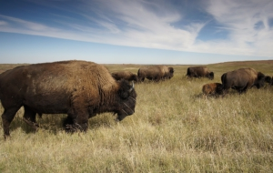 American Bison Desktop Wallpaper