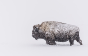 American Bison Free HD Wallpapers