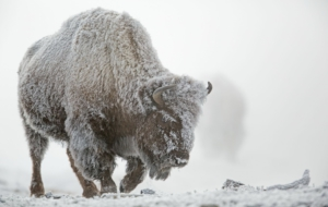American Bison HD