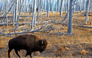 American Bison HD Wallpaper