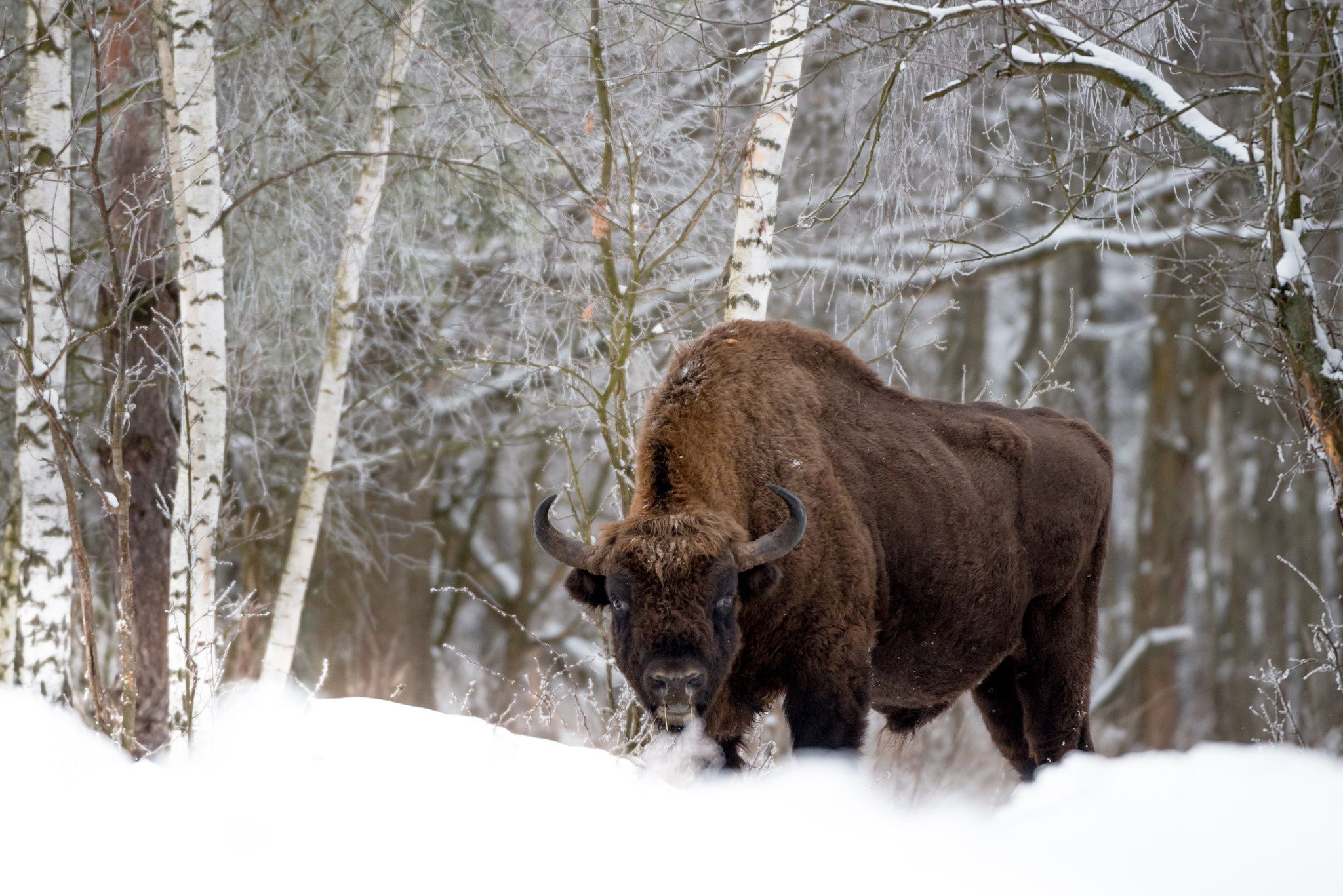 american bison wallpapers - DriverLayer Search Engine