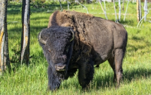 American Bison For Desktop Background