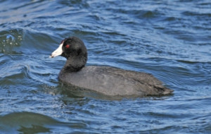 American Coot High Definition